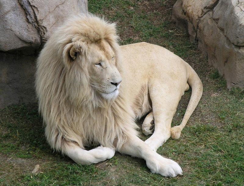adevarat-leul-albinos
