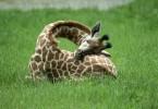 Cum doarme o girafă
