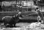 curatarea-dintilor-hipopotam-moscova-1944
