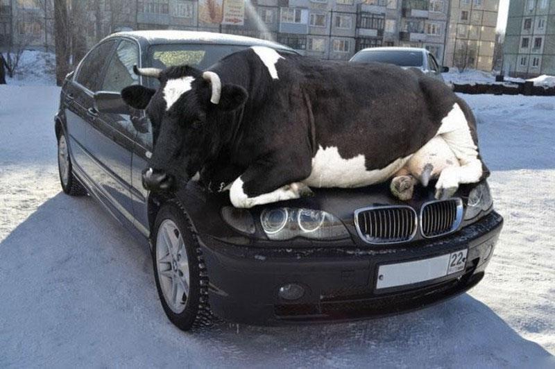 fals-vaca-pe-capota-automobil-bmw