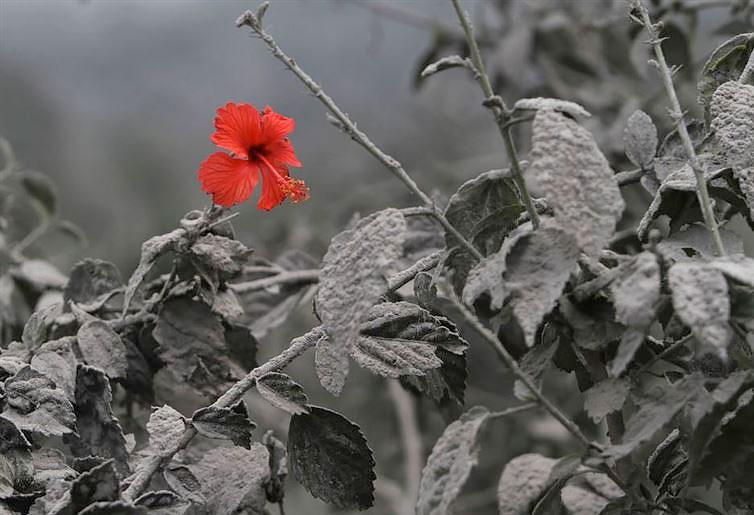 hibiscus-acoperit-de-cenusa-vulcanica