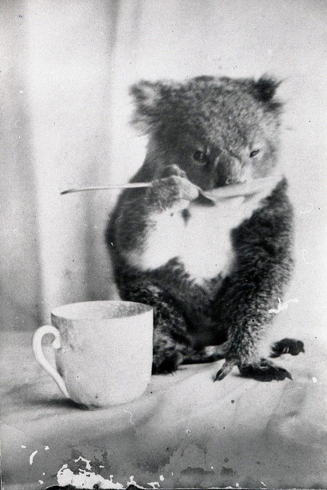koala-bea-apa-1900