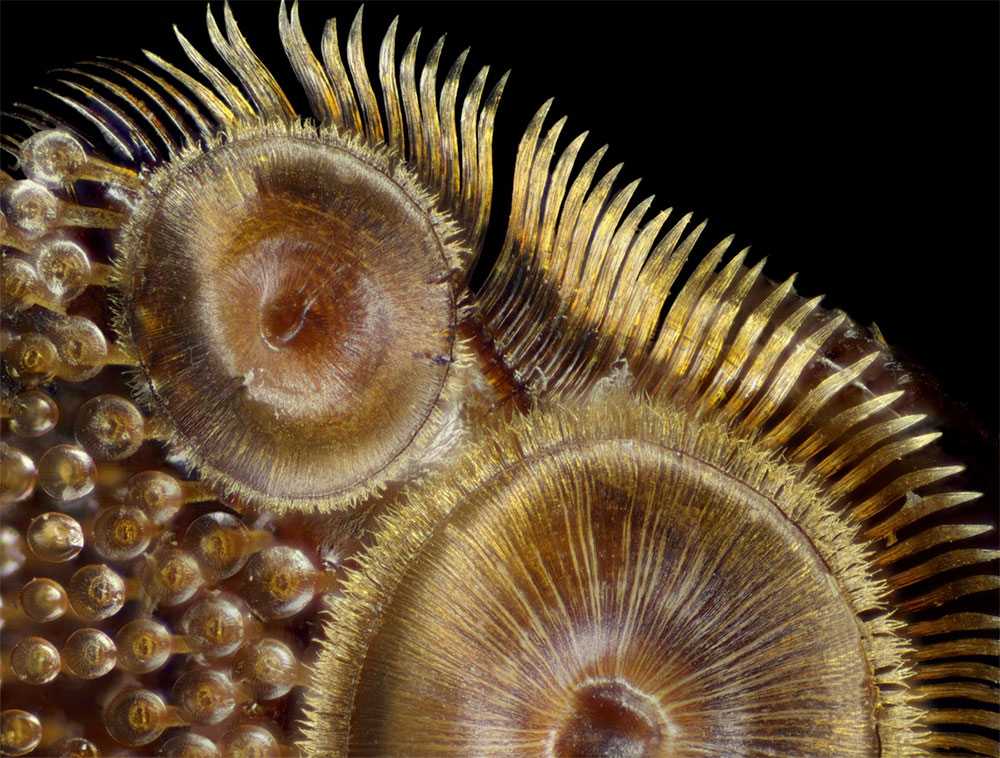 lipitoare-gandac-Dytiscus-sp
