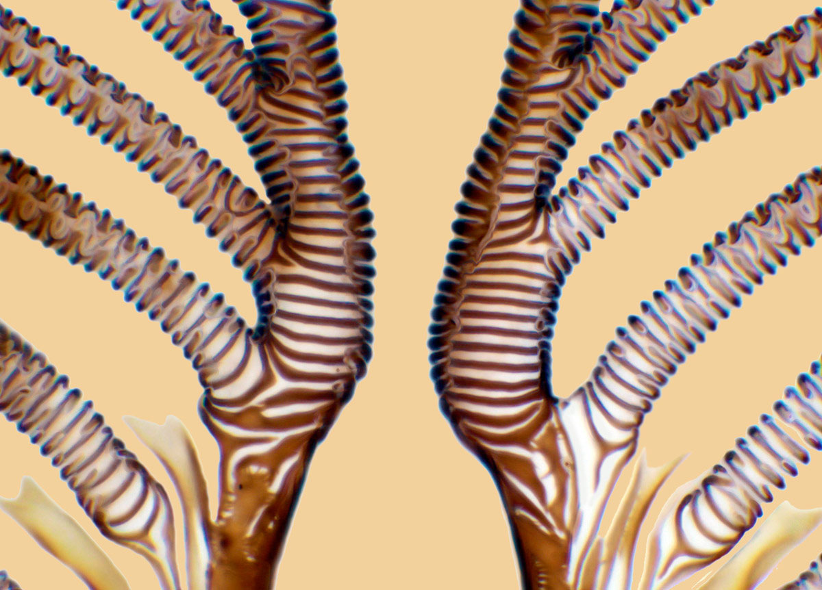 partea-bucala-Calliphora-vomitoria-marita-750-ori