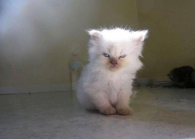 pisica-alba-privire-grea