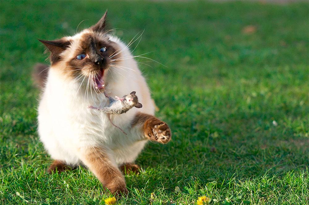 pisica-soarecele-cadere