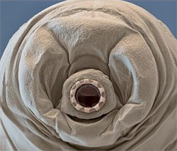 tardigrada-fata