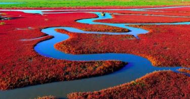 Mandatory Credit: Photo by HAP/Quirky China News/REX (4231357d)  Red bush seashore  Red bush seashore, Panjing, Liaoning Province, China - Nov 2014